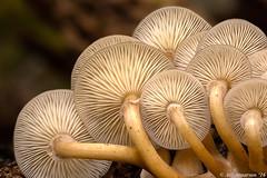 Armillaria novae-zelandiae (Atlapix) Tags: newzealand nature mushroom mushrooms fungi fungus foxglacier southisland westcoast westland gills armillaria honeymushroom honeyfungus armillarianovaezelandiae westlandtapoutininationalpark