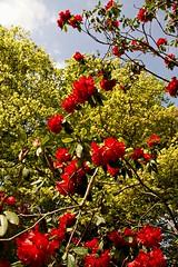 _Rhodedendron_DSC06762 (Ian Gearing) Tags: park uk trees england west nature woodland arboretum gloucestershire westonbirt trust glos
