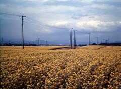 To the north (threepinner) Tags: summer flower mamiya japan hokkaido cloudy   positive canola hokkaidou 1000s selfdeveloped takikawa northernjapan m645   ebeotsu  benkebetsu