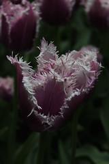 IMG_3025 (seustace2003) Tags: holland nederland an tulip bas pays tulipa niederlande keukenhof tulp tulipan paesi bassi tiilip sitr