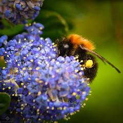 Busy Bee (chmeermann | www.chm-photography.com) Tags: photoshop tiere nikon wildlife natur sigma squareformat makro insekt hummel lightroom quadratisch flowersplants 105mmf28 stockcategories d7100