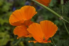 Papavero della California (Leandro.C) Tags: fiore papavero piantaerbacea escolzia papaverodellacalifornia
