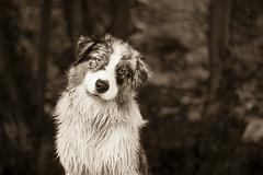 _MG_9865 (Amandine Prunier (Photographe)) Tags: dog canon 50mm australian picture australien aussie spia sheperd berger