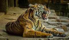 Joanne (ToddLahman) Tags: cat canon tiger tigers sumatrantiger joanne safaripark escondido canon100400 tigertrail sandiegozoosafaripark canon7dmkii
