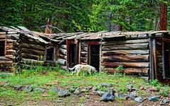 Exploring the past, Idaho Springs Colorado (Gail K E) Tags: usa goldenretriever rockies cabin colorado 1800s nikond50 mining logcabin alpine rockymountains goldmine idahosprings clearcreekcanyon
