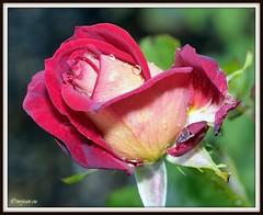 _JVA6816 (mrjean.eu) Tags: park pink flowers blue red roses white france flower macro green nature fleur rose yellow fleurs nikon botanic lorraine botanique parc metz communal 105mmf28