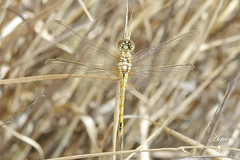 Sympetrum fonscolombii (aetven) Tags: espaa grancanaria canon spain dragonfly canarias liblula sympetrumfonscolombii aetven
