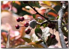 Berry, berry nice... (Mike Goldberg) Tags: tree fruit effects berries plums hss mikegoldberg jerusalemvicinity canong16