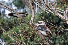 Noisy Miner and Kookaburra (Gillian Everett) Tags: explore queensland kookaburra noisyminer explored
