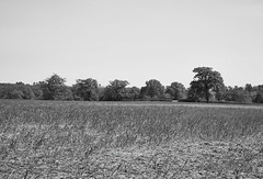 Sprouting Field [II] [BW] (Modesto Vega) Tags: tree green monochrome field grass landscape blackwhite spring nikon track outdoor farm surrey blades earlyspring d600 theweald surreyfield