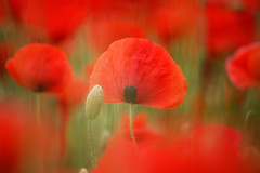 Nature (Bruno MATHIOT) Tags: red france color nature fleur canon french rouge eos alsace poppy poppies fields couleur champ proxy coquelicot 55250 760d