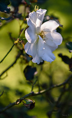 A Little Light (Jocey K) Tags: autumn newzealand christchurch roses flower may monavale