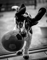 Ball (davidjhumphries) Tags: portrait dog pet white playing black cute canon ball puppy 50mm mutt play f14 hound free droopy ears run whiskers basset 5d collar fetch mkii