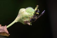 Potter wasp on euphorbia seed pod (Lord V) Tags: macro bug insect wasp potterwasp ancistrocerus