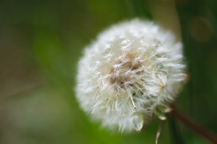 What would you wish for? (Michelle Tuttle) Tags: uk summer england flower green nature spring weed deep fluffy dandelion british wish meaningful makeawish thoughful