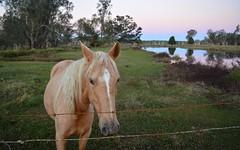 blondie (dustaway) Tags: portrait horse animal fence landscape sundown australia drain nsw australianlandscape northernrivers richmondvalley tuckeanswamp tuckicanal