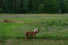 Standning here in the green (johanssoneva) Tags: horse green hst grnt flt