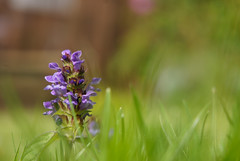 "2016_366187 - Selfheal • <a style=""font-size:0.8em;"" href=""http://www.flickr.com/photos/84668659@N00/27553139563/"" target=""_blank"">View on Flickr</a>"