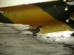 Leggera rinfrescata. (giuseppemontalto) Tags: sete birds uccelli estate pozzanghera passero water acqua
