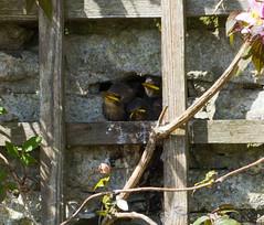 Starlings watching for Mum (annadg) Tags: flower birds floraandfauna starlings otherkeywords