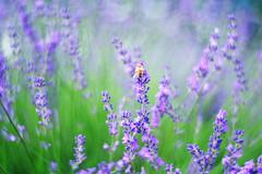 Lavender and a bee (Hideo N) Tags: lavender bee  purple nature bokeh primoplan