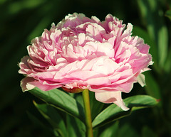 Pink Peony (ekaterina alexander) Tags: pictures pink summer england flower nature gardens garden photography sussex petals peony bloom alexander paeonia ekaterina