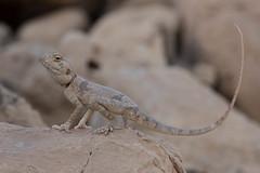 Sinai agama (Agama sinaita)   (RonW's Nature Photography) Tags: macro nature canon israel desert reptile 100mm lizard reptiles herpetology agama   sinaita agamasinaita