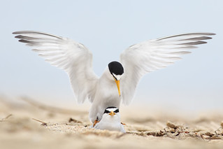 Least Tern Courting/Mating Series 9/10