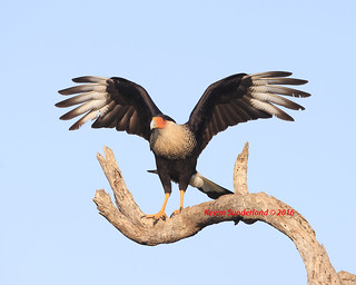 Crested Caracara Wing Stretch Texas
