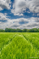 Barley Field 0637 (Paul C Cooper) Tags: crop field tree sky blue nature outdoor art clouds landscape lane path
