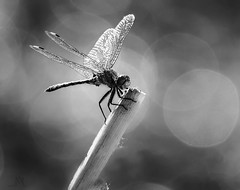 BW dragon (marianna - away for a while) Tags: summer animal insect fly flying wings dragon dragonfly bokeh mariannaarmata p2480005