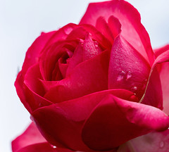 red rose after rain (Danyel B. Photography) Tags: red plant flower macro nature water rain rose garden outside close sony natur pflanze petal dew nah tau blume makro blte garten a7 rote bltenblatt