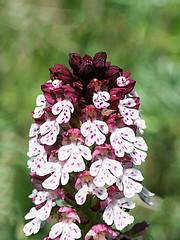 neotinea ustulata (luka116) Tags: fleur suisse mai branson valais 2016 neotinea orchidaces neotineaustulata follateres lesfollateres
