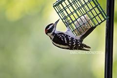 IMG_4629eFB (Kiwibrit - *Michelle*) Tags: tree grass birds woodpecker squirrel maine feeder chipmunk monmouth 2016 061916