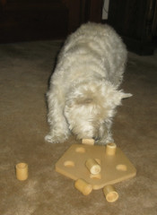 """6/12B ~ """"Riley has to work for his treats"""" (ellenc995) Tags: riley westie treats hidden westhighlandwhiteterrier 12monthsfordogs16 thesunshinegroup coth supershot rubyphotographer thesuperbmasterpiece pet100 thegalaxy"""