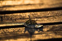Glittering decay (jarnasen) Tags: wood copyright nature closeup golden leaf nikon sweden bokeh jetty handheld sverige telezoom stergtland d810 nikon70300mmf4556 jarnasen jrnsen