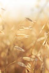 Cugula (ancoay) Tags: camp field grass yellow amarillo flare campo groc hierba avena herba cugula canon600d ancoay