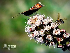 butterfly and bee (Ryuu) Tags: flowers macro green animals closeup composition butterfly bokeh insects bee pollination animalportrait fz200 natureobservation