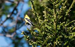 American Goldfinch, Gander Cross-country Ski Trail (frank.king2014) Tags: ca canada americangoldfinch gander newfoundlandandlabrador