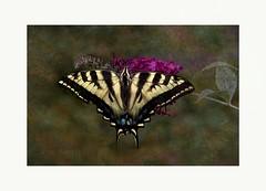 The marvelous one (Krasne oci) Tags: flowers painterly nature butterfly insect artistic gardening photoart swallowtail butterflybush buddleja 7636 texturedphoto evabartos