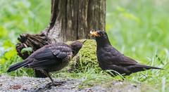 Blackbird, Merel, Turdus merula (jwsteffelaar) Tags: blackbird turdusmerula