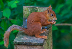 7D2L6631 (ndall) Tags: scilly redsquirrel tresco