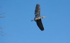 Great Blue Heron Flight (Ktach.us) Tags: blue heron nature birds nikon wildlife wetlands bif 70300 d7200