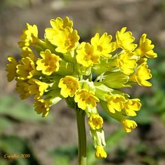 Een zonnige bloem voor een regenachtige dag. A sunny flower for a rainy day. (Cajaflez) Tags: yellow ngc primula geel bloem primrose sleutelbloem