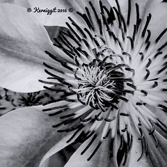 Hello World IPhone Macro Garden Photography Taking Photos Enjoying Life Relaxing Power In Nature Processed In IPhone Nature EyeEm Nature Lover IPhone IPhoneography Taking Photos Hello World Nature Makes Me Smile Life Everyday Joy Clematisphotography Black (kerniggit) Tags: life blackandwhite nature relaxing takingphotos iphone helloworld enjoyinglife gardenphotography everydayjoy naturemakesmesmile iphonemacro iphoneography powerinnature processediniphone eyeemnaturelover clematisphotography