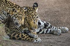 Enjoying a Cuddle from Her Son (Penny Hyde) Tags: babyanimal bigcat cub jaguar sandiegozoo flickrbigcats