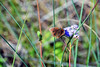 Tropical Buckeye on Blue Mistflower, Texas, Kleberg County, Padre Island National Seashore (EC Leatherberry) Tags: butterfly texas wildflower padreislandnationalseashore conocliniumcoelestinum tropicalbuckeye bluemistflower klebergcounty junoniaevaretezonalis