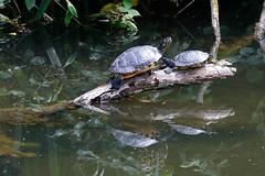 Schildkrten (marlin_666) Tags: plants water wasser turtle pflanzen roots wurzel schildkrte