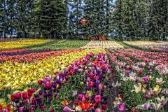 Spring Tulip Festival (gr8fulted54) Tags: nikon hdr on1 photomatix tonemapped d7100
