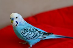 Bleu (Aaaaayesha) Tags: blue red pet bird budgie primary